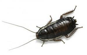 чёрный таракан в квартире