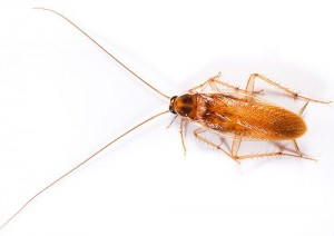 эффективный способ борьбы с тараканами